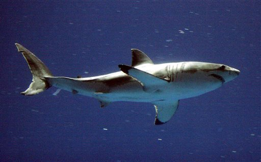 In this Sept. 14, 2004, file photo, a great white shark swims at the Monterey Bay Aquarium's Outer Bay Exhibit in Monterey, Calif.