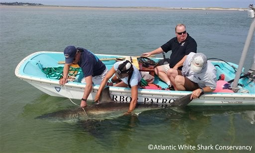 In this Monday, July 13, 2015 photo provided by Atlantic White Shark Conservancy, a great white shark is led back into the water near South Beach in Chatham, Mass. Beachgoers kept the shark, that was stuck on the beach, wet by splashing it with buckets of