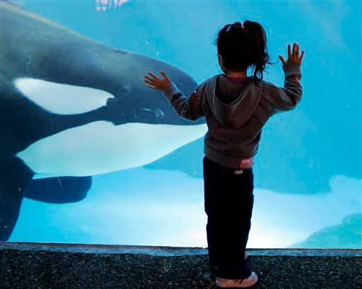 In this file photo taken on Nov. 30, 2006, a young girl watches through the glass as a killer whale passes by while swimming in a display tank at SeaWorld, in San Diego.