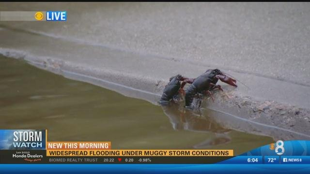 Crawfish crawl out of the overflowing San Diego River. (Monday, July 20, 2015)