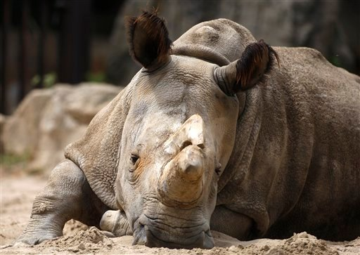 In this July 8, 2011 file photo Nabire, a white rhino sits in its enclosure at the zoo in Dvur Kralove, Czech Republic. The rhino female Nabire, belived to be one of the last five white rhinoceroses in the world, died in the Czech Zoological Garden in Dv