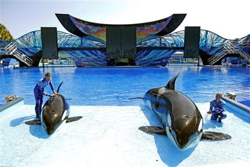 April 10, 2014 photo: SeaWorld trainer Ryan Faulkner, left, with killer whale Melia, and Michelle Shoemaker, right, with Kayla work on a routine for a show at the Orlando, Fla. theme park. (AP Photo/John Raoux, File)