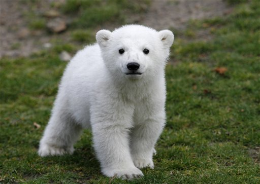 In this March 23, 2007 file photo, Knut, the polar bear cub, has its first public appearance with his keeper in the Berlin zoo.