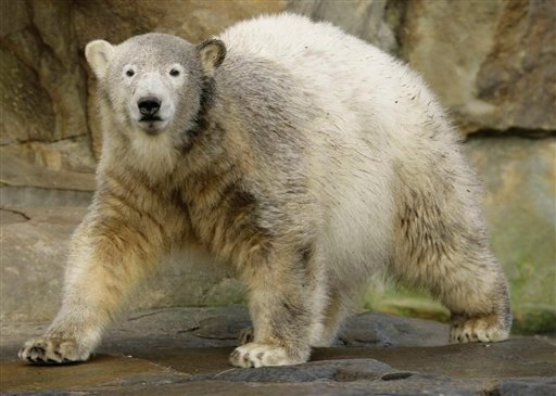 In this Dec. 5, 2007 file picture polar bear Knut walks in the enclosure during the celebration of his first birthday in the Zoo Berlin.