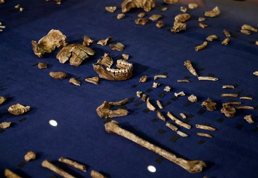 A composite skeleton of Homo naledi surrounded by some of the hundreds of other fossil elements displayed in Magaliesburg, South Africa, Thursday, Sept. 10, 2015. Scientists say they've discovered a new member of the human family tree, revealed by a huge