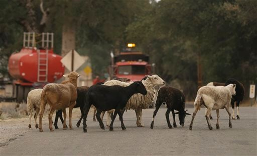 Sheep cross a road in front of emergency vehicles in Sheep Ranch, Calif., Sunday, Sept. 13, 2015. (AP Photo/Rich Pedroncelli)