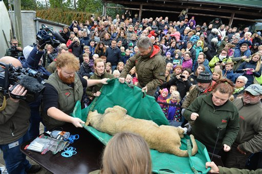 A dead male lion is carried to the table to be prepared for public dissection in front of children in Odense Zoo, Denmark, Thursday, Oct 15, 2015. This year the zoo has killed three of its lions, saying they had failed to find new homes for them despite n