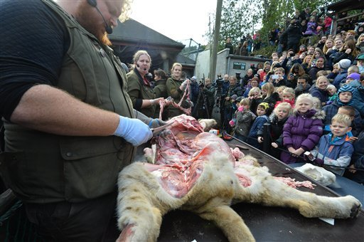 Children watch the dissection of a dead male lion in Odense Zoo, Denmark, Thursday, Oct 15, 2015. This year the zoo has killed three of its lions, saying they had failed to find new homes for them despite numerous attempts. (Ole Frederiksen/Polfoto via AP