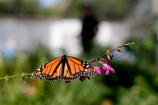 In this Wednesday, Aug. 19, 2015 photo, Tom Merriman stands behind a monarch in his butterfly atrium at his nursery in Vista, Calif. (AP Photo/Gregory Bull)