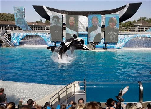 In this Nov. 30, 2006, file photo, four killer whales, including Kasatka and her calf, Kalia, leap out of the water while performing during SeaWorld's Shamu show in San Diego. A SeaWorld executive says orca shows at the company's San Diego park will end