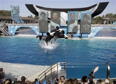In this Nov. 30, 2006, file photo, four killer whales, including Kasatka and her calf, Kalia, leap out of the water while performing during SeaWorld's Shamu show in San Diego.