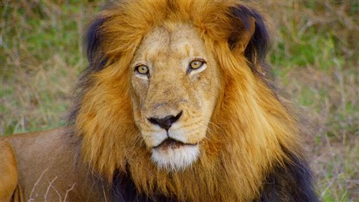 This 2015 photo provided by Smithsonian Channel shows a lion in a scene from Smithsonian Earth's Africa's Wild Horizons. Smithsonian Earth is a new subscription video streaming service delivering original nature and wildlife content. A monthly subscriptio