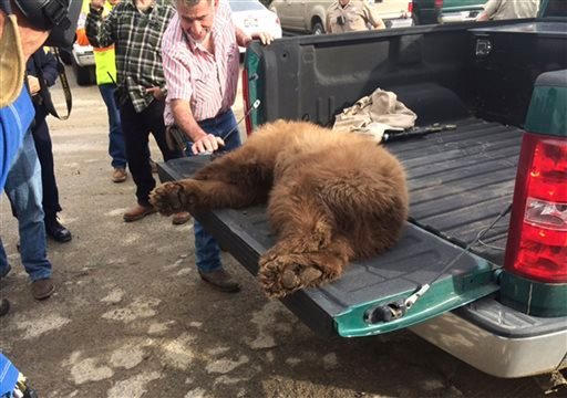 In this Tuesday, Dec. 22, 2015 photo released by the Fresno Police Department, a black bear sits in the back of a pickup truck after it was tranquilized by wildlife biologists at the Orange Avenue Disposal in Fresno, Calif. The black bear crawled inside a