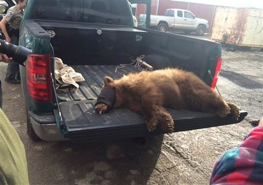 In this Tuesday, Dec. 22, 2015 photo released by the Fresno Police Department, a juvenile black bear sits in the back of a pickup truck after he was tranquilized by wildlife biologists at the Orange Avenue Disposal in Fresno, Calif. The black bear crawled