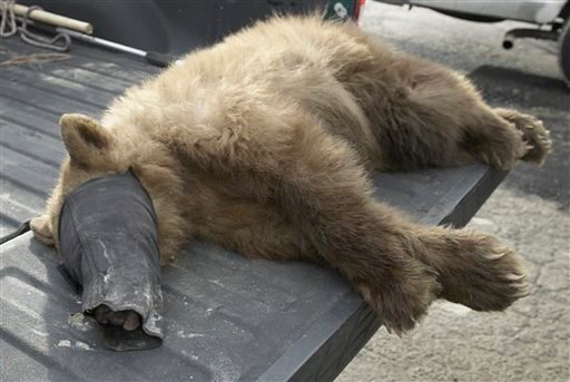 In this Tuesday, Dec. 22, 2015 photo, a black bear sits in the back of a pickup truck after it was tranquilized by wildlife biologists at the Orange Avenue Disposal in Fresno, Calif. The black bear crawled inside a trash compactor and took the ride of its