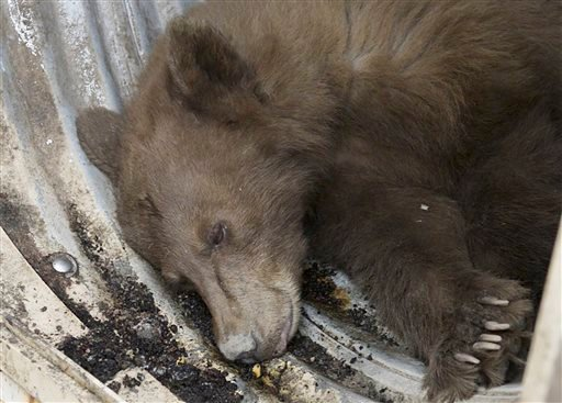 In this Tuesday, Dec. 22, 2015 photo, a black bear sits in the back of a transport trailer after it was tranquilized by wildlife biologists at the Orange Avenue Disposal in Fresno, Calif. The black bear crawled inside a trash compactor and took the ride o