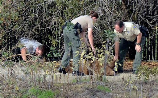 In this Tuesday, Dec. 22, 2015 photo, officers with the California Dept. of Fish and Wildlife pull a black bear out of the bushes at the Orange Avenue Disposal in Fresno after tranquilizing it in Fresno, Calif. The black bear crawled inside a trash compac