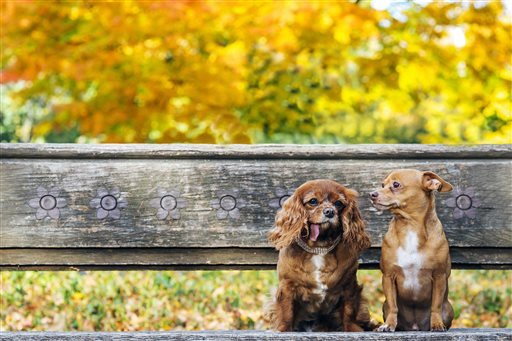"""This Oct. 26, 2015 photo provided by Zola shows Toast, left, a 10-year-old King Charles puppy mill rescue, and 7-year-old Finn in their """"engagement"""" photo in Central Park in New York. (Zola via AP)"""
