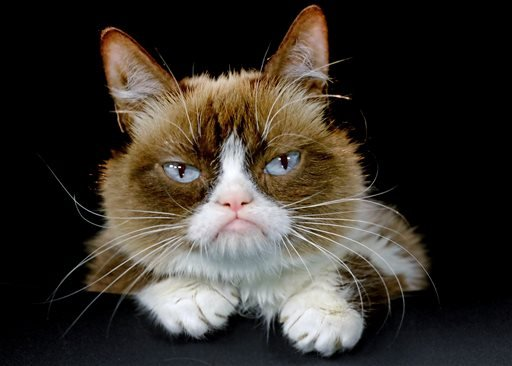 This Dec. 1, 2015 photo shows Grumpy Cat posing for a photo during an interview at the Associated Press in Los Angeles. (AP Photo/Richard Vogel)