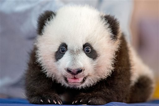 Monday, Dec. 14, 2015 file photo: Bei Bei, the National Zoo's newest panda and offspring of Mei Xiang and Tian Tian, is presented for members of the media at the National Zoo in Washington. (AP Photo/Andrew Harnik, File)