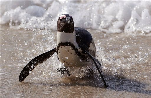 Thursday, Aug. 27, 2015 file photo: A Penguin runs out of the ocean after swimming with other penguins at Boulders beach a popular tourist destination in Simon's Town, South Africa. (AP Photo/Schalk van Zuydam, File)