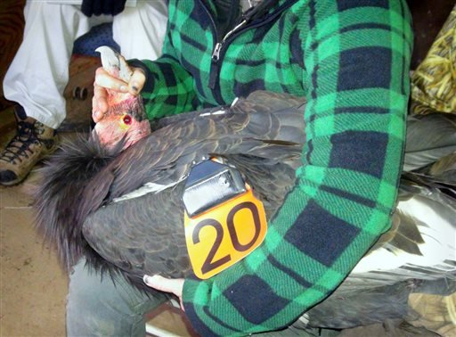 In this Dec. 28, 2015 photo provided by the U.S. Fish and Wildlife Service, a California condor designated AC-4, whose captive breeding helped save the species, is re-branded as California condor 20 before its release at the Bitter Creek National Wildlife
