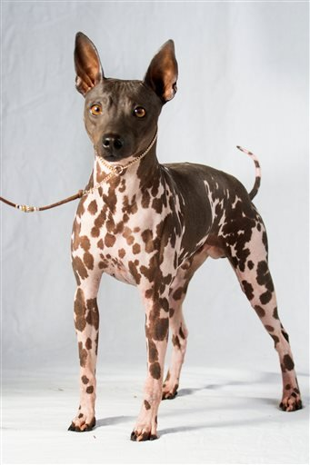 This undated photo provided by the American Kennel Club (AKC) shows an American Hairless Terrier. (American Kennel Club via AP)