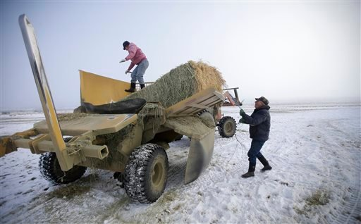 Rancher Jerry Miller, 79, and his daughter Tina Steeves deliver hay to his cattle Saturday, Jan. 9, 2016, on his ranch, in Crane, Ore. Behind the standoff between ranchers and the U.S. government in Oregon is a decades-old idea in the West to take back co