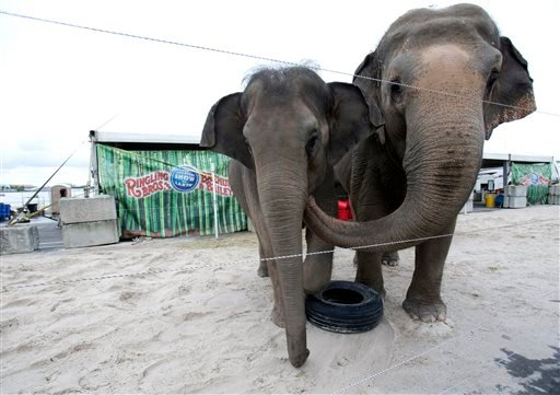 In this Friday, Jan. 8, 2016 photo, Asian elephants named April, left, and Luna, belonging to Ringling Bros. and Barnum & Bailey Circus, interact in their enclosure outside the American Airlines Arena in Miami. (AP Photo/Wilfredo Lee)