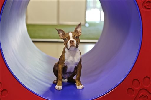 August 2015 photo from Bigger Road Veterinary Center for Pet Health and Enrichment: Buster is enrolled in the puppy Montessori program in Springboro, Ohio. (Erin Grote/Bigger Road Veterinary Center for Pet Health and Enrichment via AP)