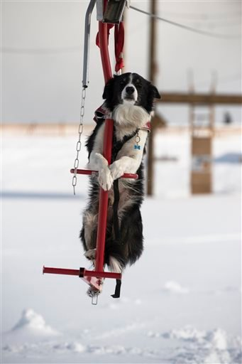 In this 2015 photo provided by Squaw Valley Alpine Meadows, border collie Wylee is taking a ski lift to get up a mountain in Olympic Valley, Calif. (Matt Palmer/Squaw Valley Alpine Meadows via AP)