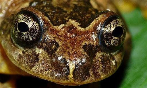 This 2008 photo provided by biologist S.D. Biju shows the frontal view of a Frankixalus jerdonii, belonging to a newly found genus of frogs. The frogs live high in the forest canopies of northeastern Indian jungles. Females have unique breeding habits, te