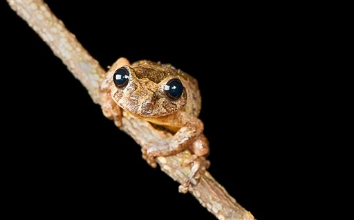 In this 2007 photo provided by biologist S.D.Biju, a Frankixalus jerdonii, belonging to a newly found genus of frogs, sits on the branch of a tree. The frogs live high in the forest canopies of northeastern Indian jungles. (SD Biju via AP)