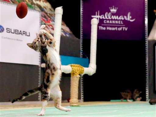 Oct. 21, 2015 file photo, a kitten plays with a toy football during a taping of Kitten Bowl III in New York. The Hallmark Channel taped Kitten Bowl III ahead of broadcast on Super Bowl Sunday, on Feb. 7. (AP Photo/Mary Altaffer, File)