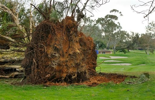 A tree lies uprooted, Monday, Feb. 1, 2016, on the 10th hole of south course at Torrey Pines, due to a winter storm on Sunday, delaying the Farmers Insurance Open golf tournament, in San Diego. (K.C. Alfred/The San Diego Union-Tribune via AP)