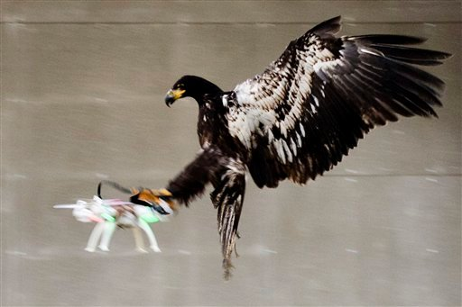 In this image released by the Dutch Police Tuesday Feb. 2, 2016, a trained eagle puts its claws into a flying drone.
