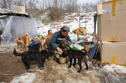 In this Wednesday, Jan. 27, 2016 photo, Jung Myoung Sook, 61, who rescued and sheltered dogs for 26 years, feeds soy milk to her dogs at a shelter in Asan, South Korea. (AP Photo/Lee Jin-man)