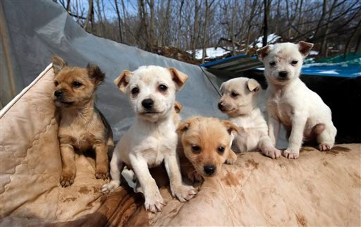 In this Wednesday, Jan. 27, 2016 photo, puppies sit at a shelter owned by Jung Myoung Sook, 61, who rescued and sheltered dogs for 26 years, in Asan, South Korea. (AP Photo/Lee Jin-man)