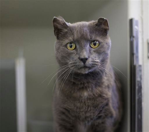 In this photo taken Jan. 15, 2016, Hemi, an American Curl mix cat is shown at Craven County Animal Control in New Bern, N.C. (Bill Hand/Sun Journal via AP)