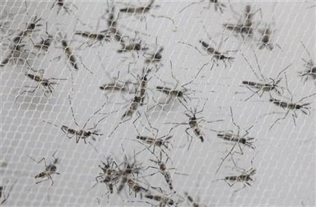 """It's almost like a cockroach of the mosquito world."" (AP Photo/Andre Penner)"