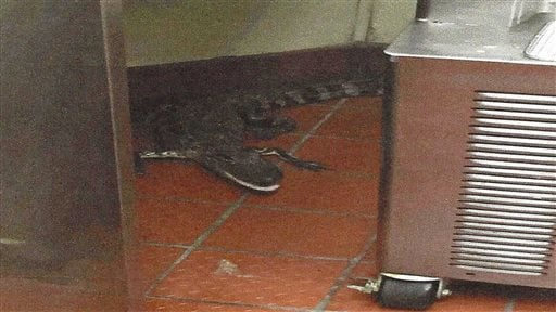This Oct. 12, 2015 photo provided by the Florida Fish and Wildlife Conservation Commission shows an alligator in the kitchen of a Wendy's Restaurant in Loxahatchee, Fla. Florida wildlife officials say that 24-year-old Joshua James threw a 3.5-foot alligat