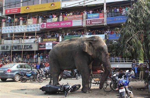 A wild elephant that strayed into the town stands after authorities shot it with a tranquilizer gun at Siliguri in West Bengal state, India, Wednesday, Feb. 10, 2016.