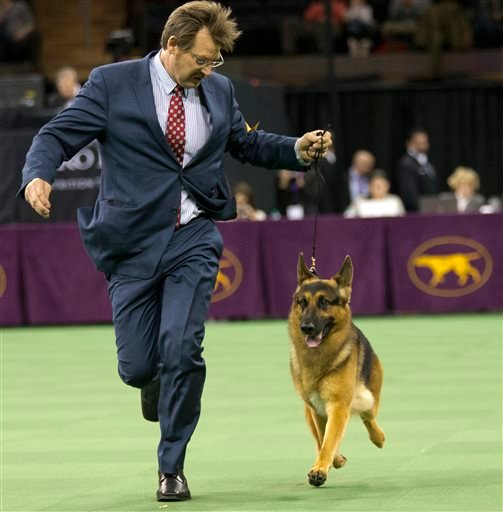 Rumor, a German shepherd, is shown in the ring during the Herding group competition during the 140th Westminster Kennel Club dog show, Monday, Feb. 15, 2016, at Madison Square Garden in New York. Rumor won the best in Herding group.