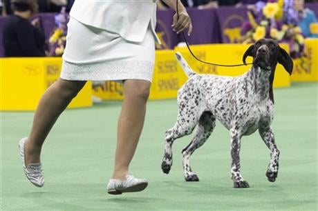 C.J., a German shorthaired pointer, is shown in the ring during the sporting group competition at the 140th Westminster Kennel Club dog show, Tuesday, Feb. 16, 2016, at Madison Square Garden in New York. C.J. won best in Sporting group. (AP Photo)
