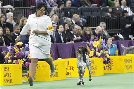 C J, a German shorthaired pointer, is shown in the ring during the sporting group competition at the 140th Westminster Kennel Club dog show, at Madison Square Garden in New York. C J won best in Sporting group. AP Photo/Mary Altaffer
