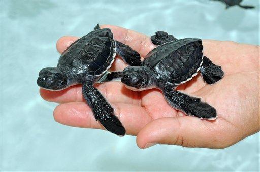 82 Healthy Sea Turtles Hatch At San Diego Seaworld Cbs