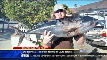 Tuna surprise fish swim ashore on san diego beaches cbs for San diego tuna fishing