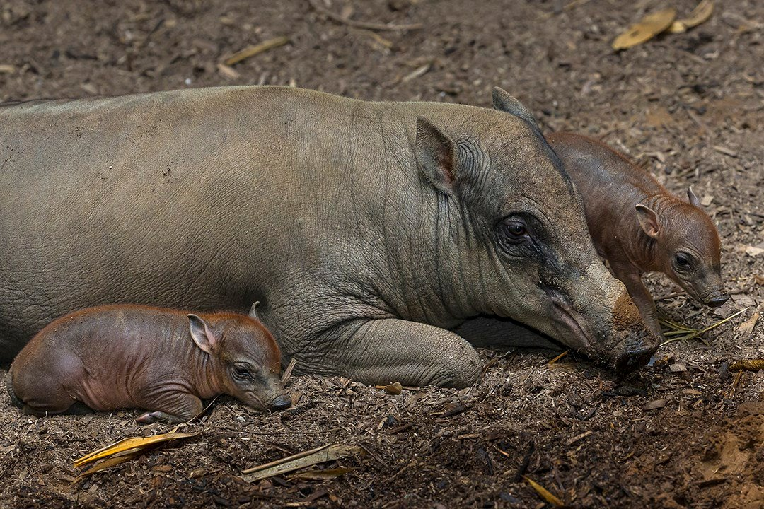 north sulawesi babirusa piglets born at the san diego zoo
