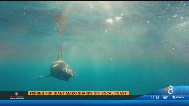 Honda World Conway >> Local fisherman catches and releases giant mako shark - CBS News 8 - San Diego, CA News Station ...