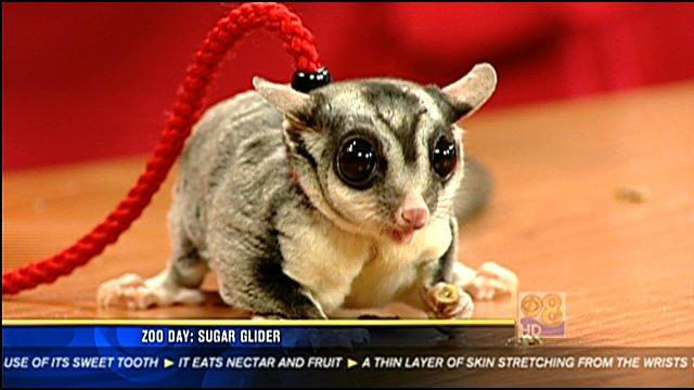 Zoo Day Sugar Glider Cbs News 8 San Diego Ca News